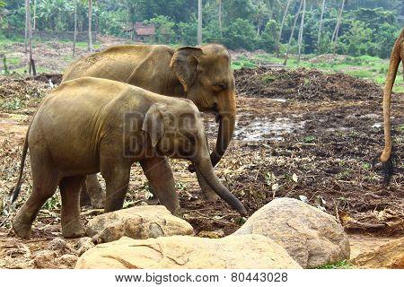 Young Indian elephants
