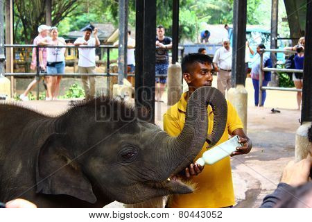 Baby Indian elephant fed milk