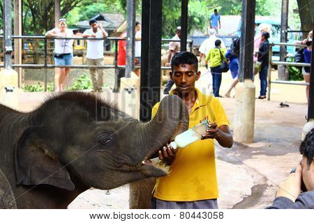 Baby elephants are fed milk