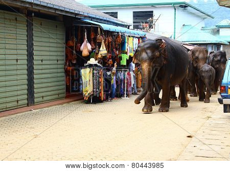 Indian elephants go with a swim on the street