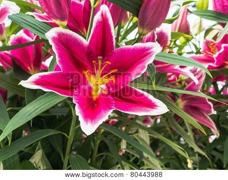 Pink lily  with white edges