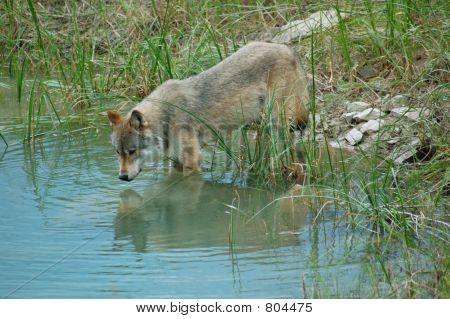 Wolf-Überlegungen
