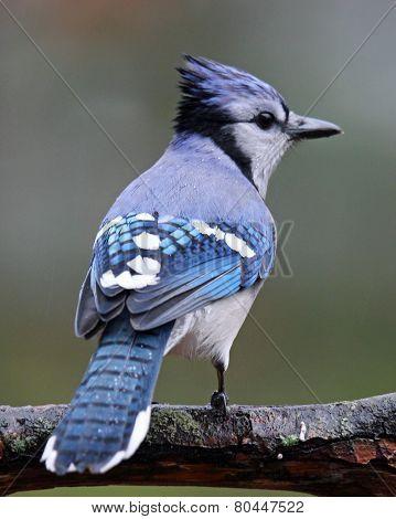 Rainy Day Blue Jay