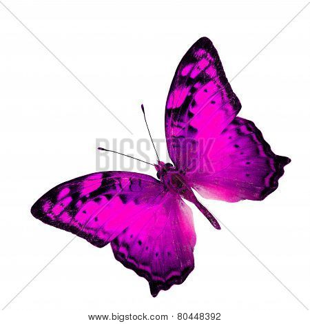Exotic Flying Pink Butterfly in fancy color profile isolated on white background (Vagrant Butterfly)