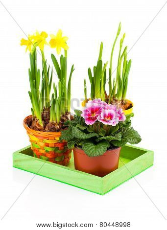 Colorful Spring Flowers In Pots On White Background. Pink Primulas, Yellow Narcissus
