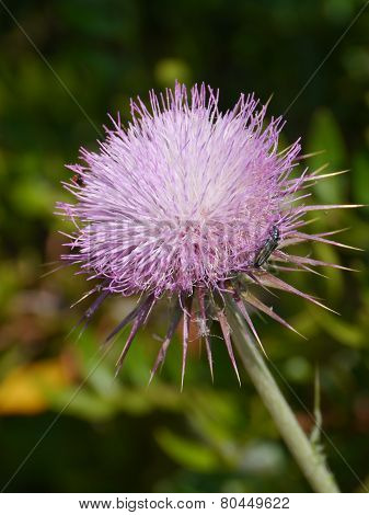 A magenta blooming thistle flower