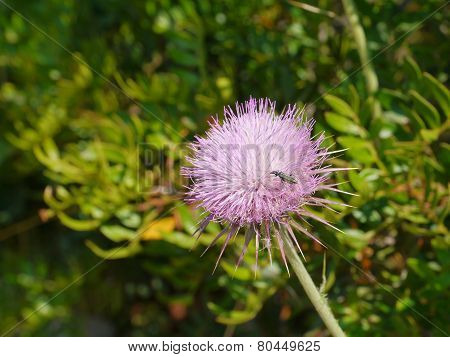 A pink flowering plume thistle