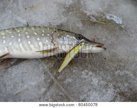 Nice catch pike fish caught using fishing rod and artificial lure