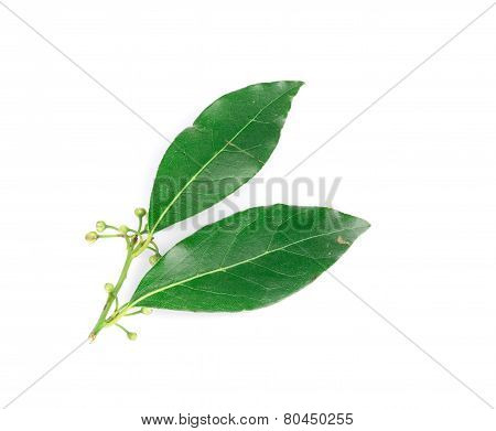 Citrus leaves on branch.
