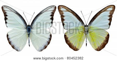 Exotic Of Chocholate Albatross Butterfly Both Upper And Lower Wing Profile In Natural Color Isolated