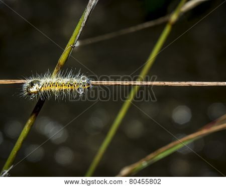 hairy yellow and black caterpillar with water droplets