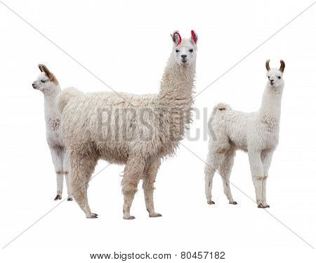 Female llama with babies