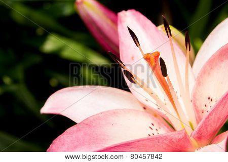 Closeup ff pink Lily.