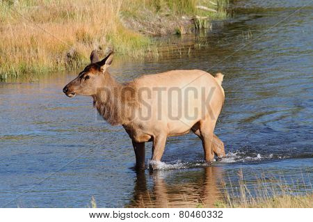 Female (cow) Elk