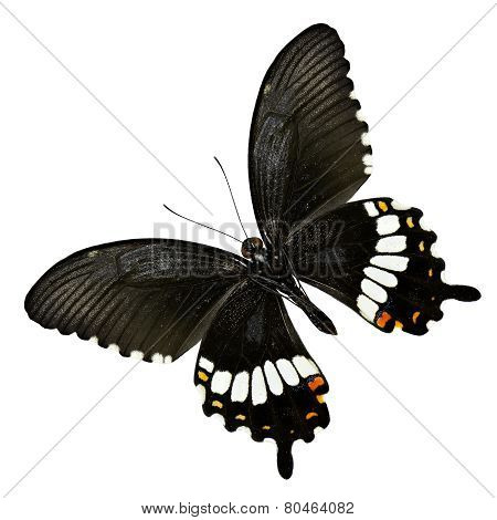 Flying Common Mormon Butterfly Isolated On White Background