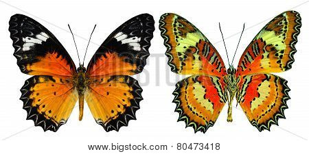 Malay Lacewing Butterfly Both Upper And Lower Wing In Natural Color Profile Isolated On White Backgr
