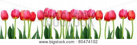 Group Of Flowers Pink Tulips On White Background.