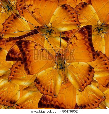 Pile Up Of Malay Rajah Butterflies In Full Framing