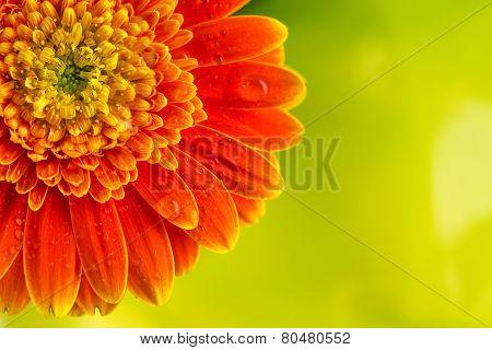 Orange Gerbera Daisy Flower On Yellow Background