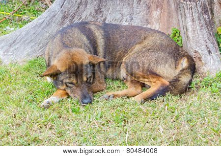 Thai Dog Sleep In Grass Yard