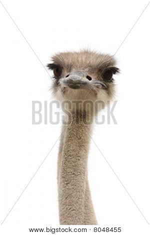 young female ostrich