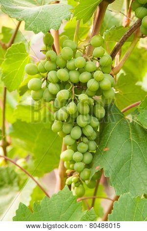 green grapevine
