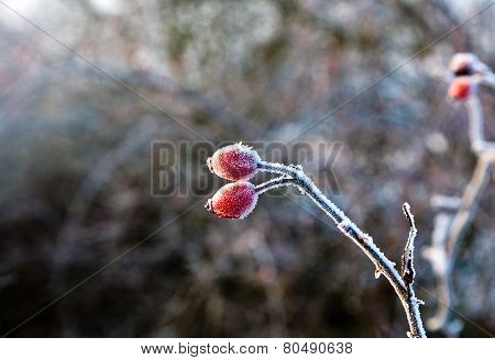 Red Rose Hip With Ice In Winter