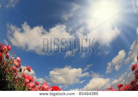 Flowers and sun. Flowering pink garden buttercups and blue spring sky. The picture was taken Fisheye lens