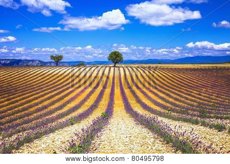 scenery of french Provence series - lavander fields