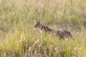pic of nocturnal animal  - A serval Leptailurus serval in the savannah of Serengeti National Park Tanzania - JPG