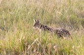 image of predator  - A serval Leptailurus serval in the savannah of Serengeti National Park Tanzania - JPG