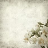 foto of narcissi  - textured old paper background with doule narcissi - JPG