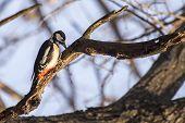 stock photo of woodpecker  - Great Spotted Woodpecker  - JPG