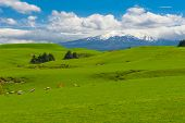 image of herd  - Beautiful landscape of the New Zealand  - JPG