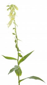 stock photo of digitalis  - single flower  - JPG