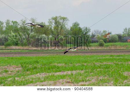 Stork family arriving to rural area for summer season
