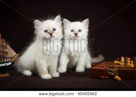 two Neva masquerade  kittens