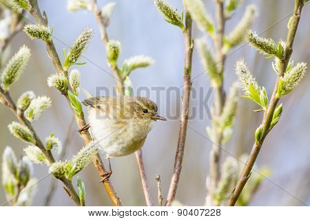 Chiffchaff Finding Food