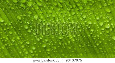 Water Drops On A Fresh Leaf