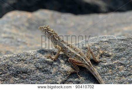 Little Lizard Looking Around On The Rock In Nature Detail Photo
