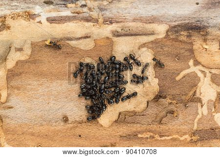 Black Ant Colony With Queen.