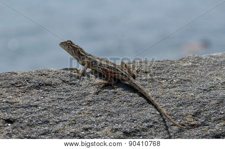 Little Lizard On The Rock Near To The Sea Detail Photo