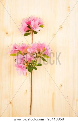 Pink Azalea On Wood Table