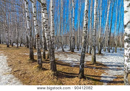 Birch Grove In Spring.