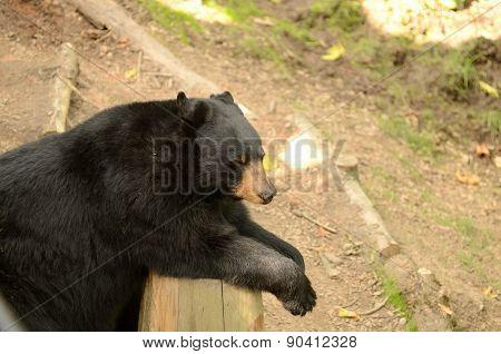 American black bear,