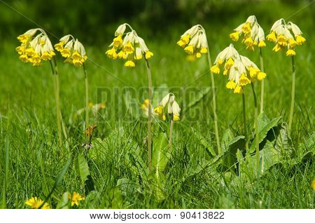 Beautiful Cowslip Blossom