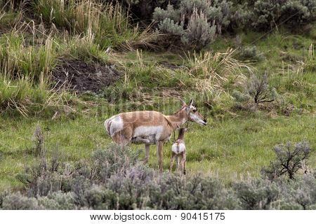 Baby Pronghorn with Mother