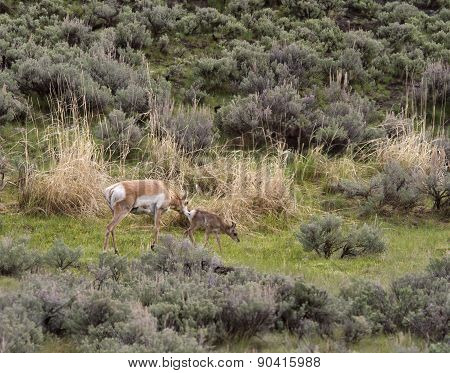 Pronghorn Antelope with Baby