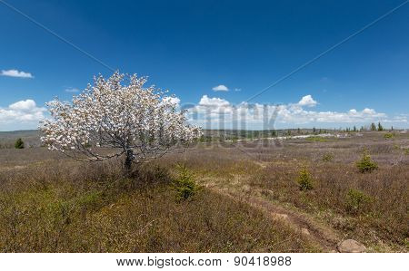 Flowering Tree in Dolly Sods