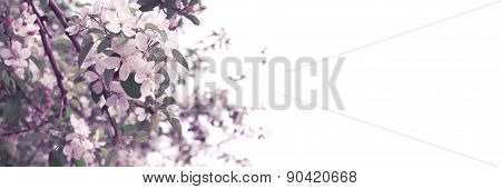 Springtime Apple Tree Blossoms On White Background With Empty Space For Greeting Message. Mother's D